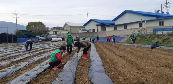 포천시 가산면남녀새마을협의회, 나눔을 위한 옥수수 심기 모습 [사진=포천시]